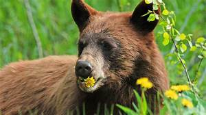 What Do Bears Eat  These 15 Weird Foods Are Part Of A Bear