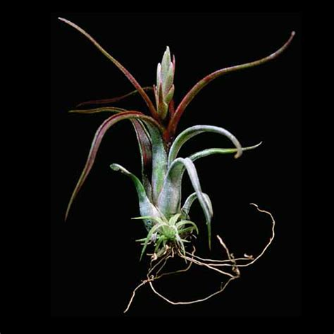 russells bromeliads gallery russell s bromeliads