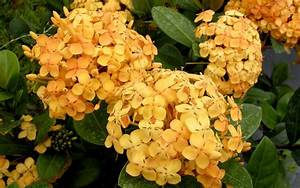 Buy Maui Yellow Ixora - 1 Gallon - Tropical Plants ...