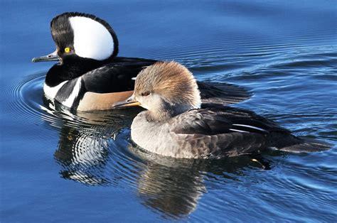 Paul's US Birding Blog: Common Merganser in Central Park ...