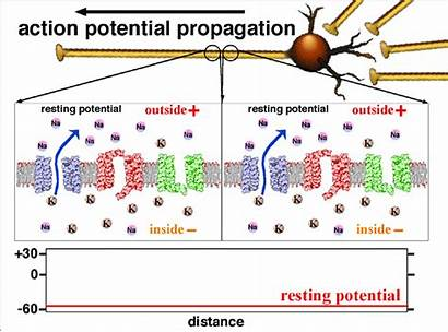 Potential Action Propagation Animation Potentials Activity Electrical