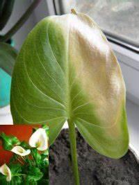 Calla Gelbe Blätter : calla gelbe bl tter calla rostig trockene stellen ~ A.2002-acura-tl-radio.info Haus und Dekorationen