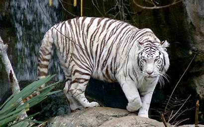 Tiger 3d Resolution Minionswallpaper Wallpapers