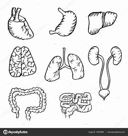 Organs Lungs Internal Heart Drawn Hand Human