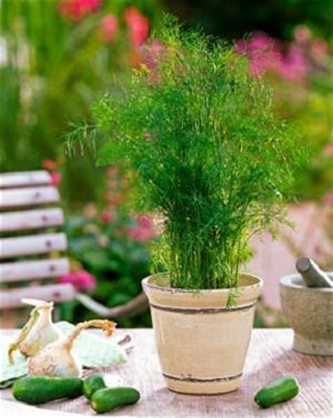 grow dill in pot how to grow dill in tropics