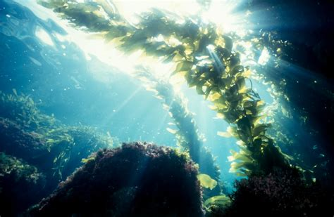 Powerful Anti-Aging Ingredients Under the Sea; Seaweed