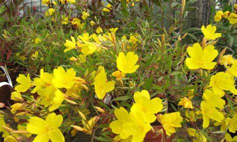 Oenothera Fruticosa (Narrowleaf Evening Primrose) Care ...