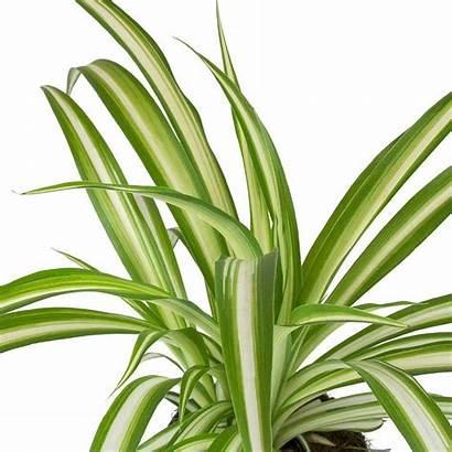 Chlorophytum Spider Plant Vittatum Comosum Plants Hortology