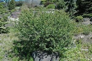 Dwarf Birch (Betula nana) in Winnipeg Headingley Oak Bluff