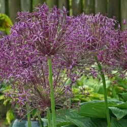amaryllis flowers allium christophii alliums specialty bulbs
