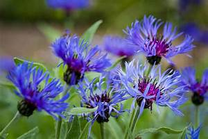 Let's Learn About Flowers: Cornflower Edition   Planning ...