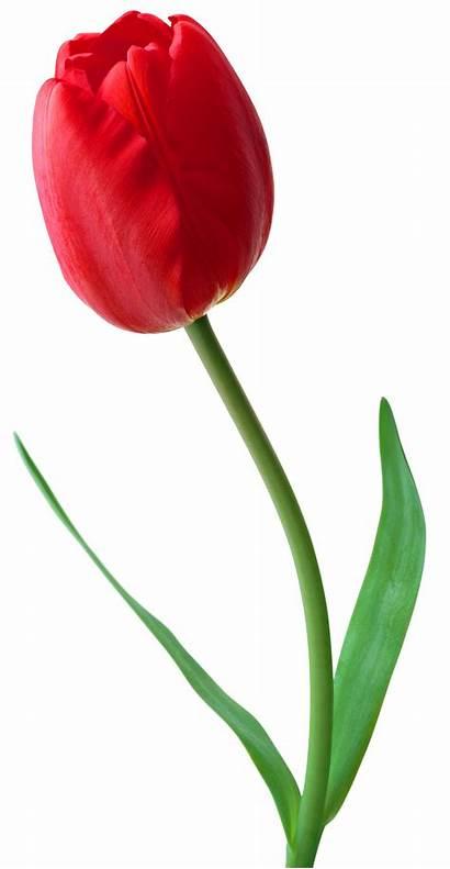 Tulip Freepngimg 1276