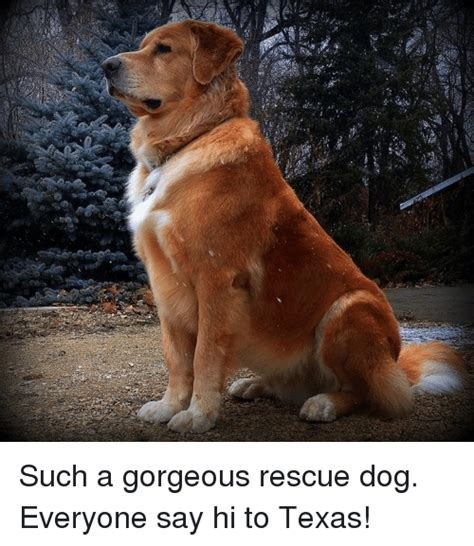 Such Dog Meme - she such a gorgeous rescue dog everyone say hi to texas meme on sizzle