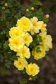 Garden Flowers Yellow Roses