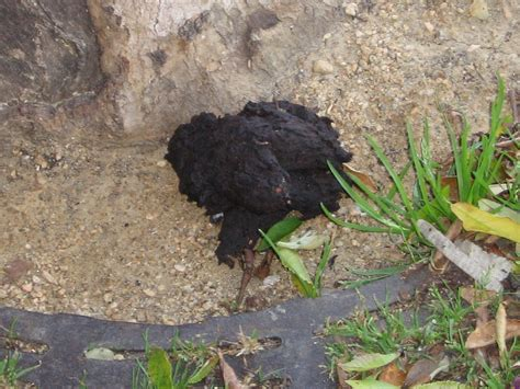 To Owner Of Black Dog Poop Get Your Dog To The Vet Dog