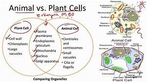 2 1 7 Animal Vs  Plant Cells