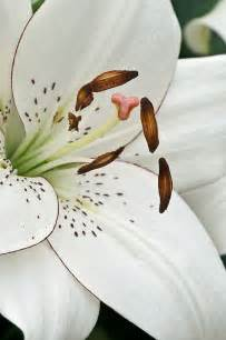 Eye Liner Lily Flowers