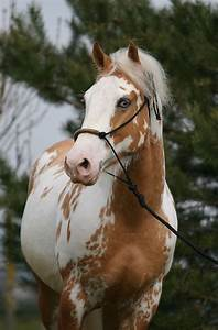 17 Best images about Palomino Overo Paint Horses on ...