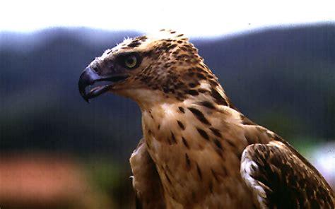 Hodgson's Hawk-Eagle