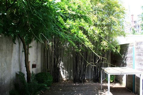 Jardin Bambou by Bambou Noir Pour Une Petite Cour Jardin Des Bambous
