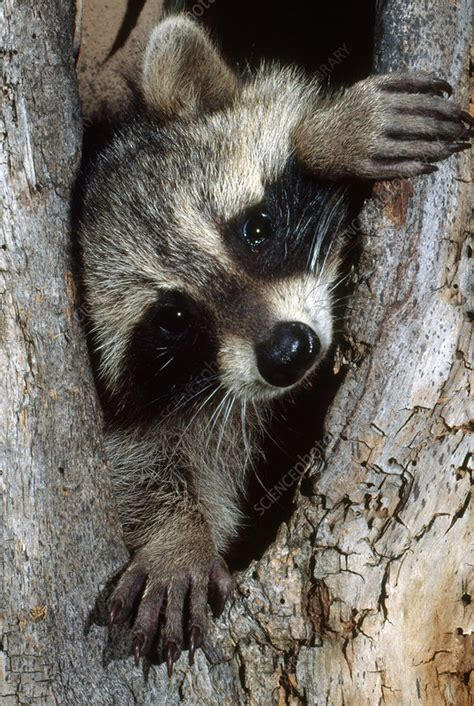 Racoon - Stock Image - C006/6486 - Science Photo Library