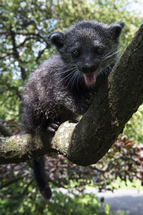playful baby binturong   staten island zoo zooborns