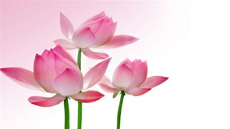 lotus wallpapers wallpaper cave