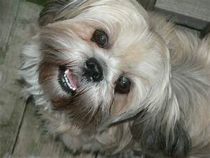 50 most beautiful shih tzu dogs for home