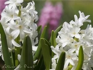 Blumenzwiebeln Richtig Setzen : pflanzen archive seite 2 von 2 wo blumenbilder wachsen ~ Lizthompson.info Haus und Dekorationen