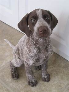 Pictures Of German Shorthaired Pointer Dog Breed Similar