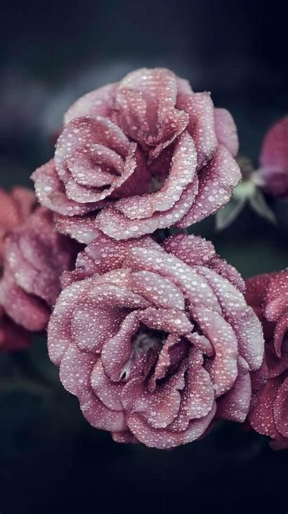 Iphone Pink Flower Rose Summer Raindrop Flowers