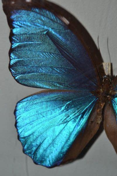 mixof  blue morpho butterfly morpho