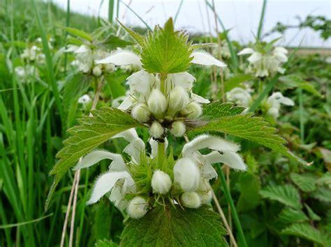 Benefits Of White Dead Nettle Lamium Album For Health