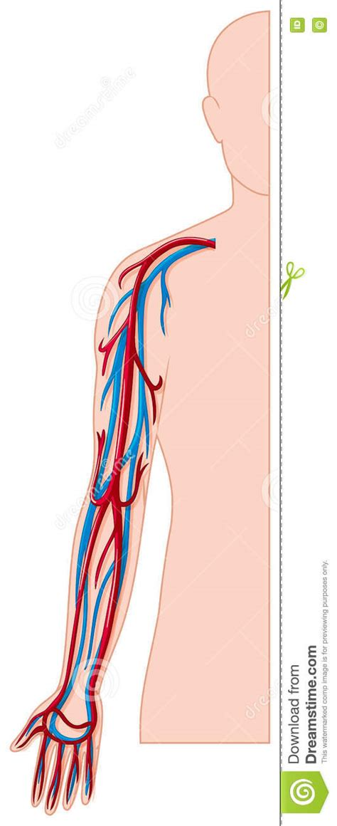 Diagram Of Arm Vessel by Blood Vessels In Human Arm Stock Vector Image 73718782