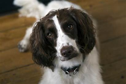 Spaniel Dog French Breed Characteristics Facts Breeds