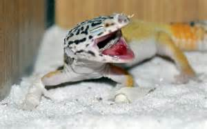 common leopard gecko health and illness leopard gecko care