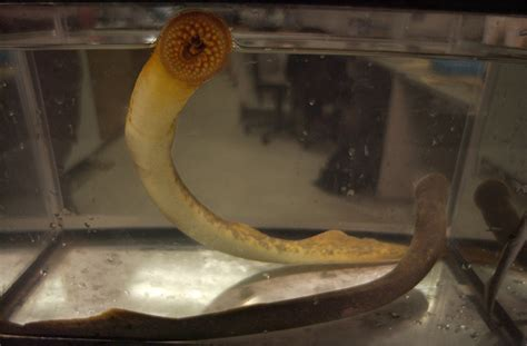 sea lampreys turning   heat msutoday michigan