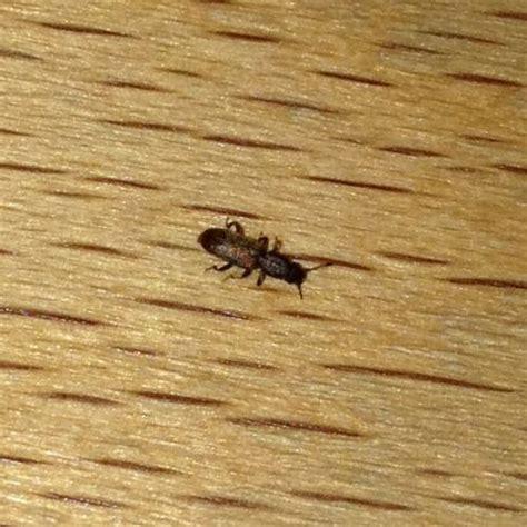 silvanidae insecte de taille présent dans une cuisine le monde des insectes