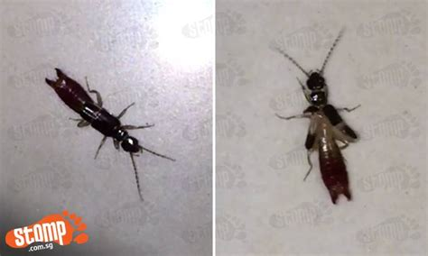 Menacing Insect Looks Like Ant Has Pincer Like Scorpion