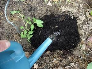 Arrosage Des Tomates : les 5 gestes faire pour bien planter ses tomates au potager ~ Carolinahurricanesstore.com Idées de Décoration