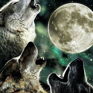 Real Wolves Howling At The Moon