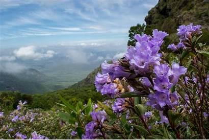 Neelakurinji Kerala Strobilanthes Munnar Once Flowers Bloom