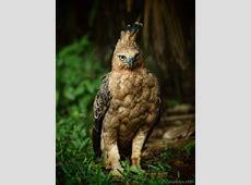 National Animal Of Indonesia Javan Hawk Eagle