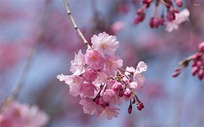 Cherry Blossom Pink Tree Spring Blossoms Flowers