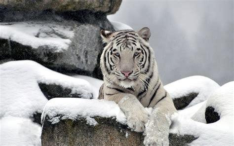 image white tiger wallpaper hdjpg   thundera