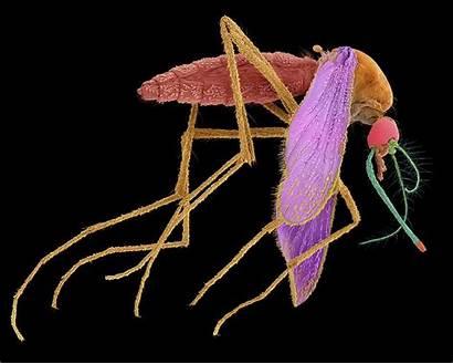 Mosquito Common Kunkel Dennis Library Microscopy Science