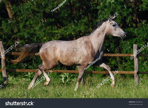 motion arabian horse grey gentle shutterstock