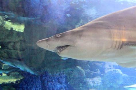 Shark Seaworld San Diego California Usa