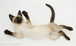 Seal Point Siamese Cats