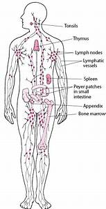Overview Of The Lymphatic System